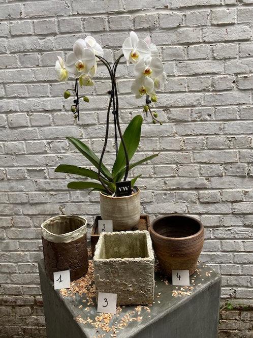 Witte hartvormige orchidee met pot