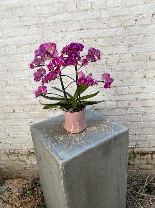 Orchidee Lilla in pot