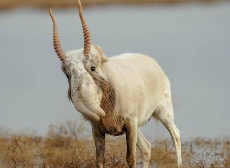 Weekly Wildlife: Saiga Antelope