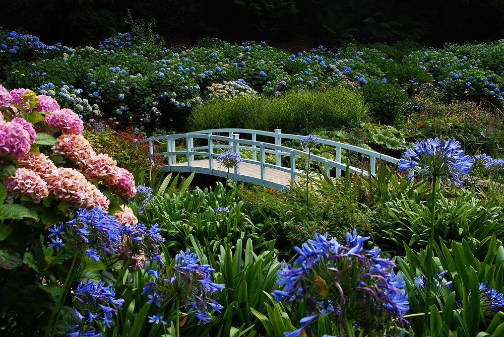 Cornwall, Roseland, Trebah, hydrangea