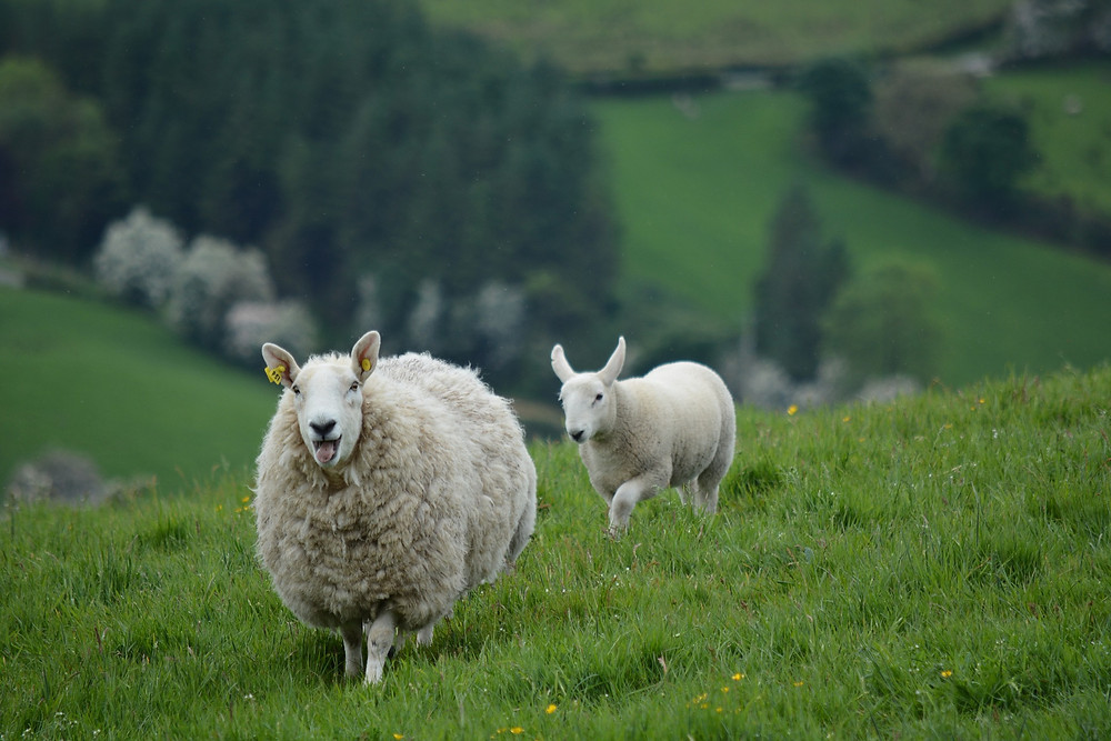 Irish Sheep in the Country