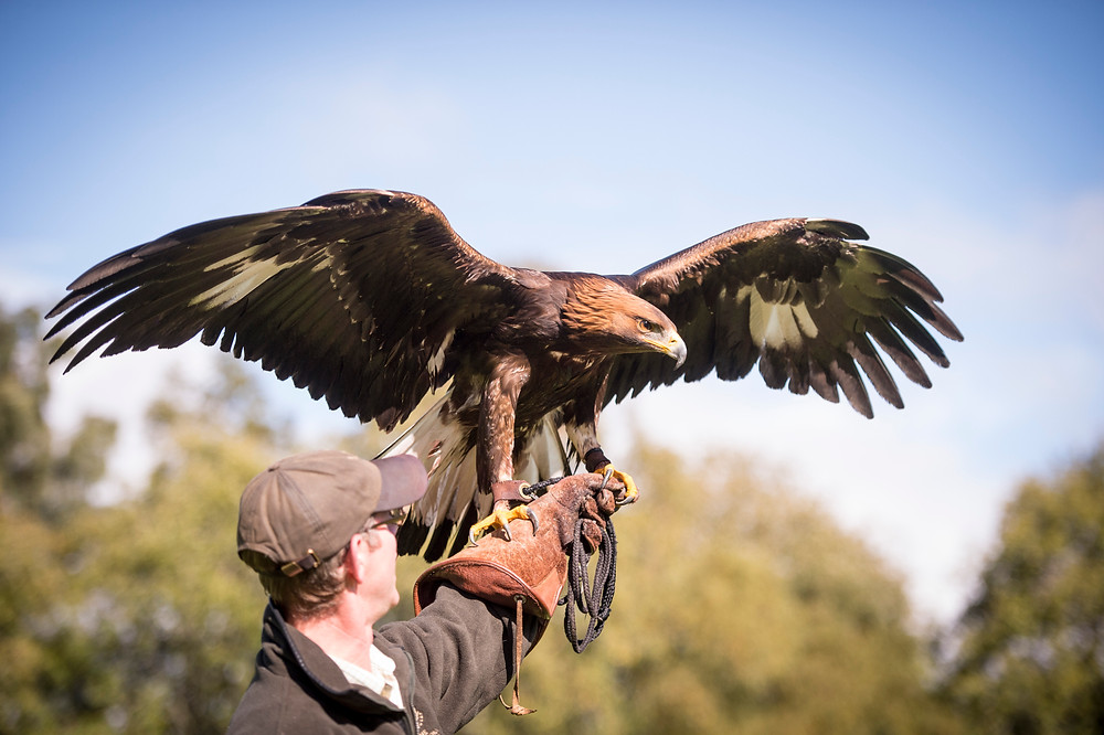 falconry gleneagles scotland