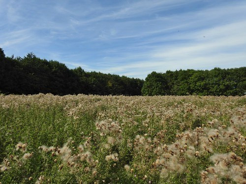 A field full of Thistles at Brockholes Nature Reserve near Preston, Lancashire, England - August 2016