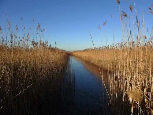 Reedbeds on an early winter morning -WWT Martin Mere Nature Reserve near Bourscough, Lancashire, UK - January 2018