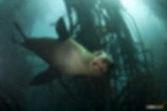 kelp-seal.jpg