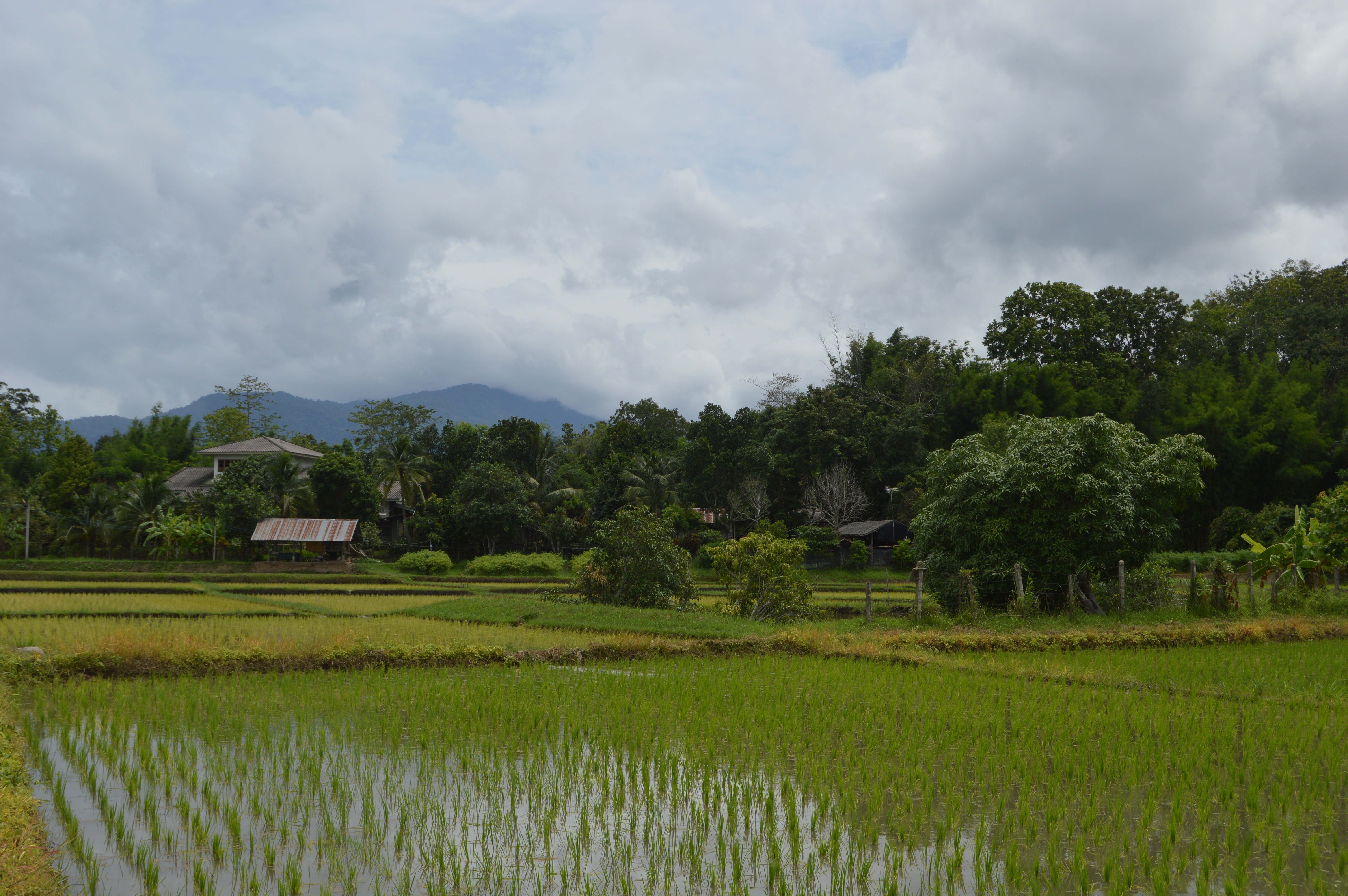 Freshly planted rice field