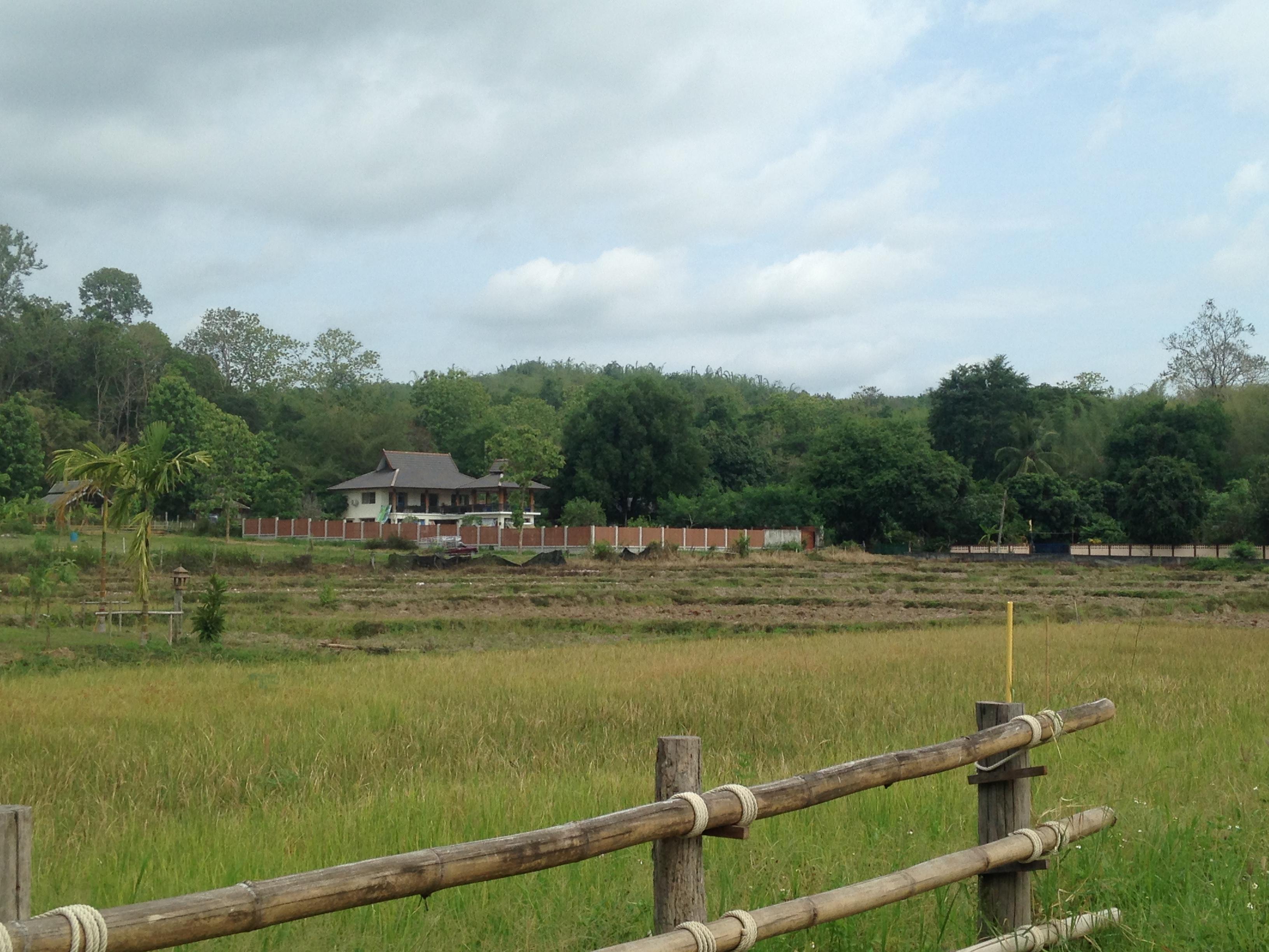 A rice field near our house