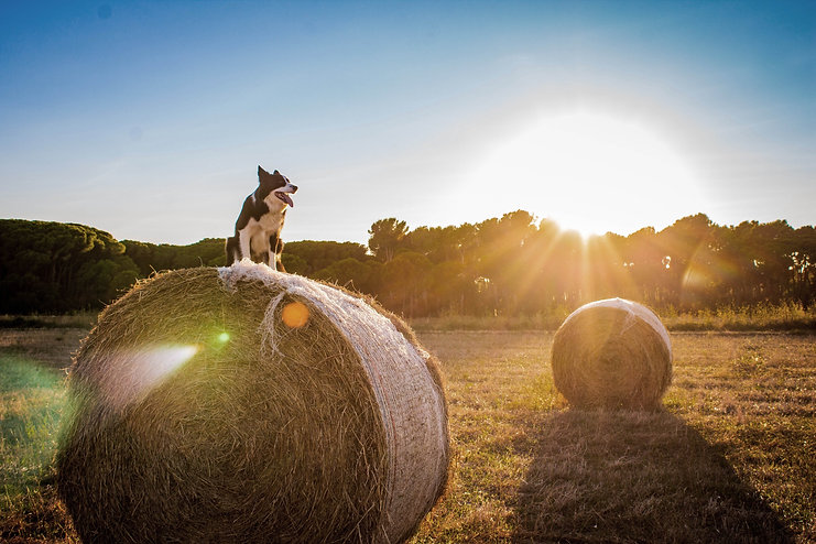 Boarder Collie on a hay bail in a field