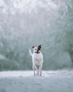 American Bulldog in the Snow