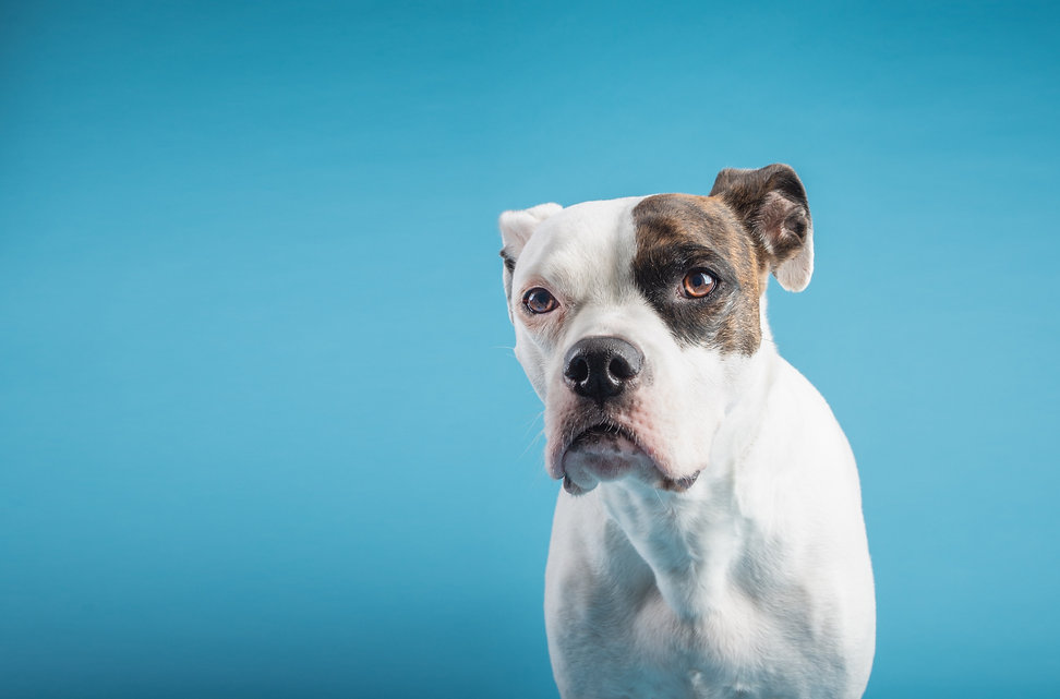 Studio Shoot Dog Boxer American Bulldog in a studio setting. Dog in studio