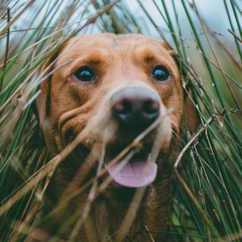 Fox Red Lab Gun Dog in tall grass