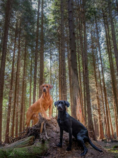 father and daughter gun dogs fox red labarador and black labrador puppy