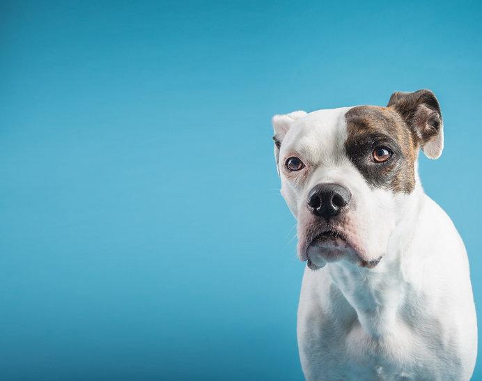 American Bulldog in a studio setting white