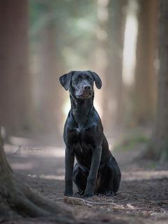 black labrador gun dog