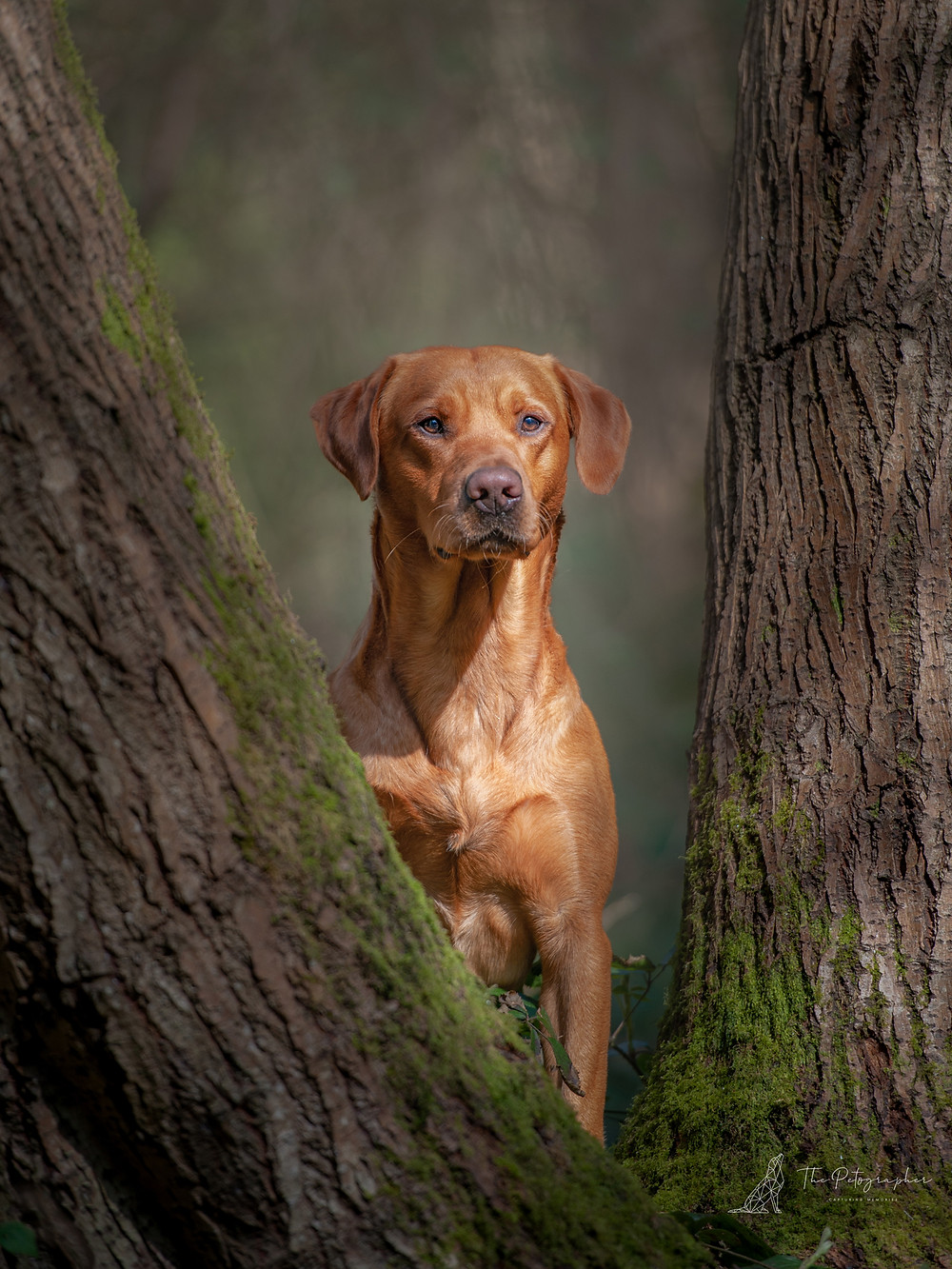 Fox Red Labrador posing looking through tress in nature