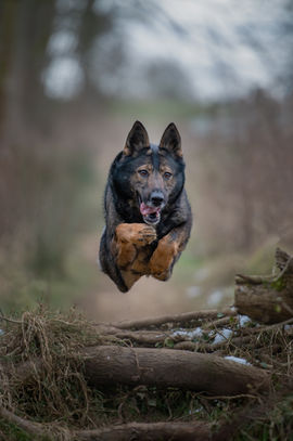 GSD Jumping