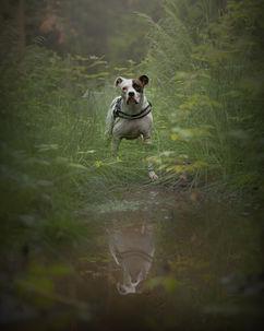 American Bulldog
