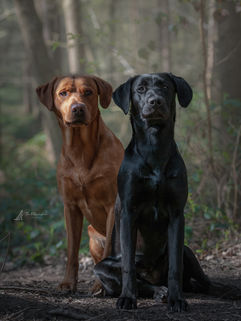 Gun dog duo father and daughter, fox red lab and black lab