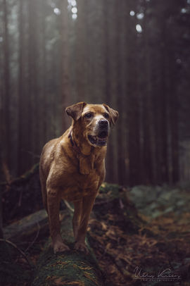 Fox red labrador cross within dense forest