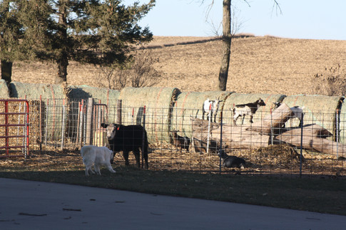 Max, the cows, and some goats