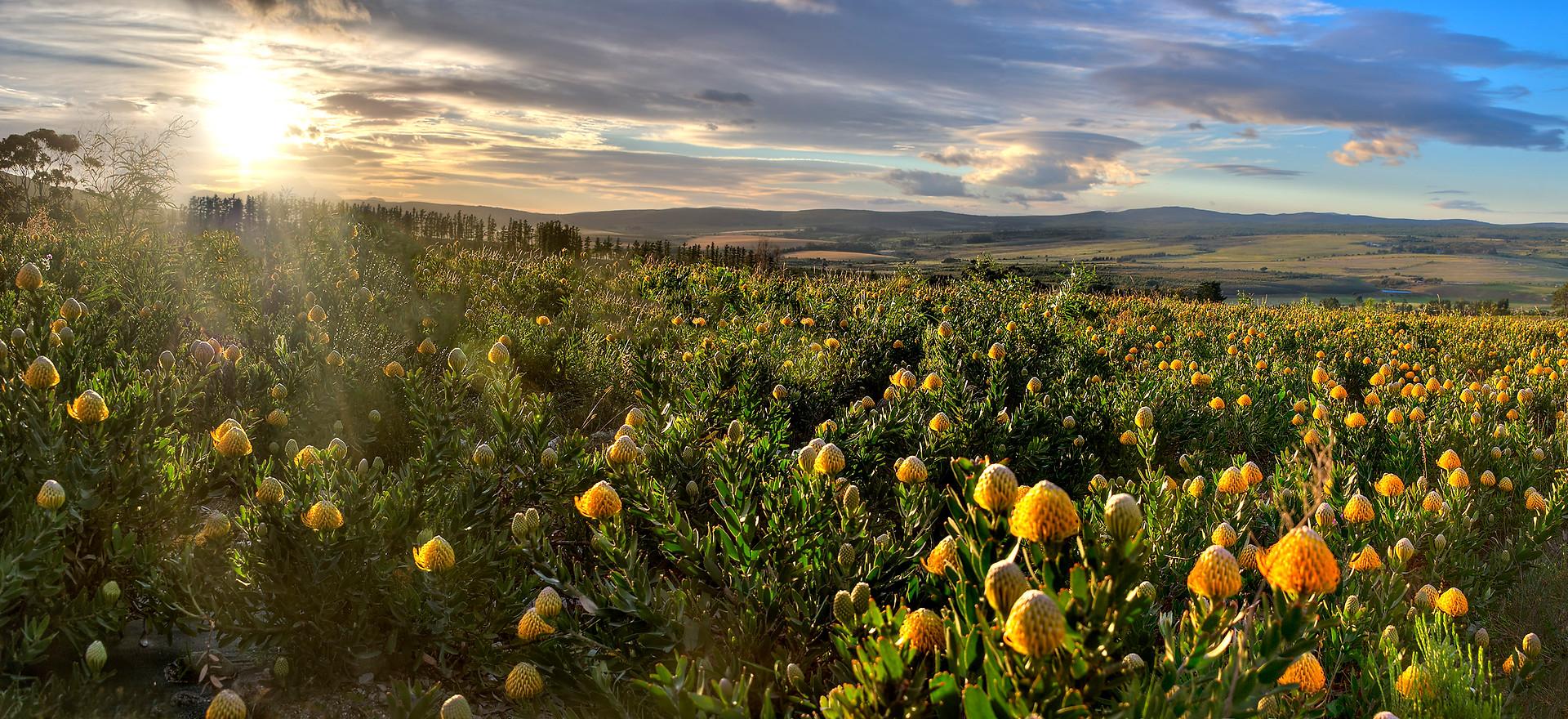 Protea fields, Stanford Hills