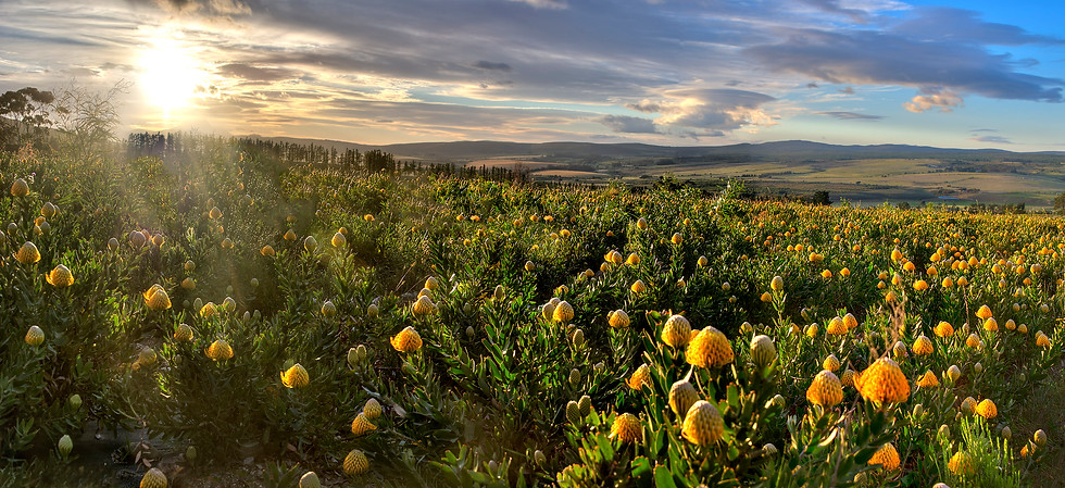 Protea fields, Stanford Hills