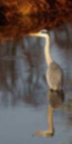 Heron-Early-Morning-Sun-web-save 1.jpg