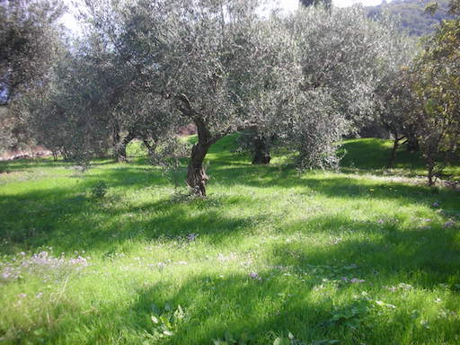 Part of our olive grove