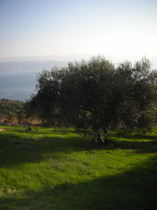 An olive tree