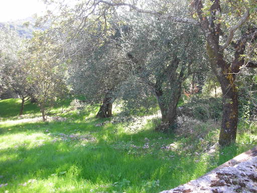 More of our olive grove