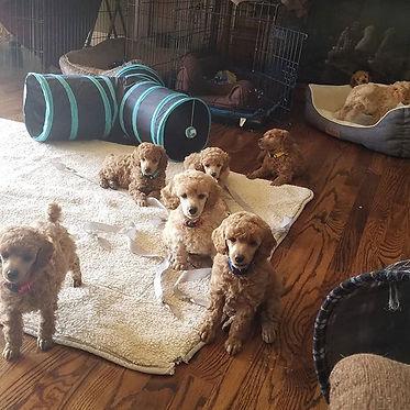 Puppies are 7 weeks old..jpg