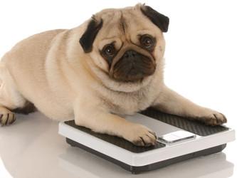 Por que o cão torna-se obeso?