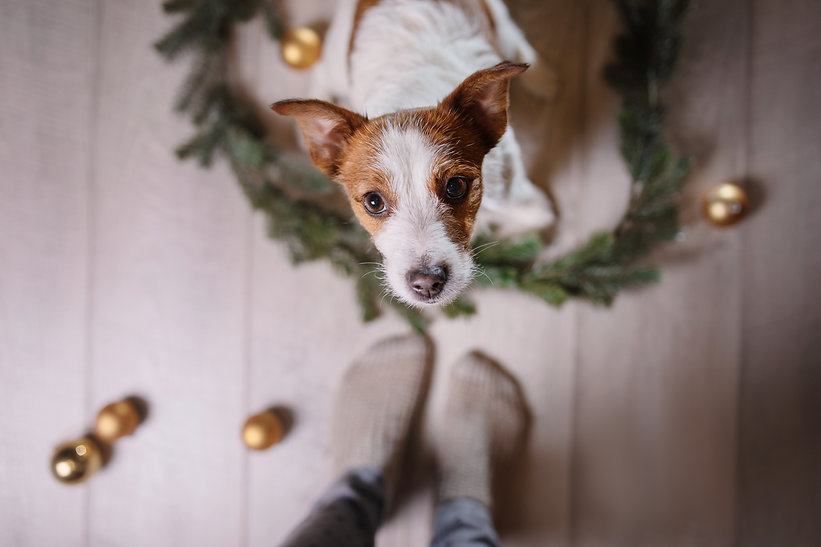 Happy New Year, Christmas, Jack Russell