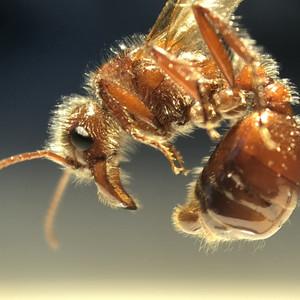 Pogonomyrmex rugosus male