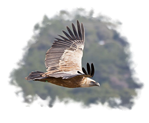 vautour sierra de guara