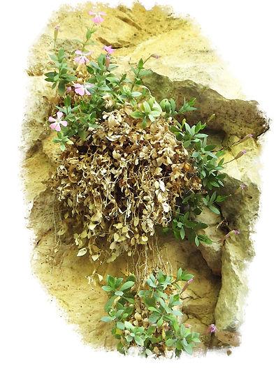 petrocoptis guarensis sierra de guara