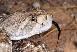 rattlesnake head.jpg