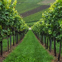 vineyard-694178_1280.jpg