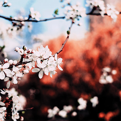 In the Shade of the Cherry Trees