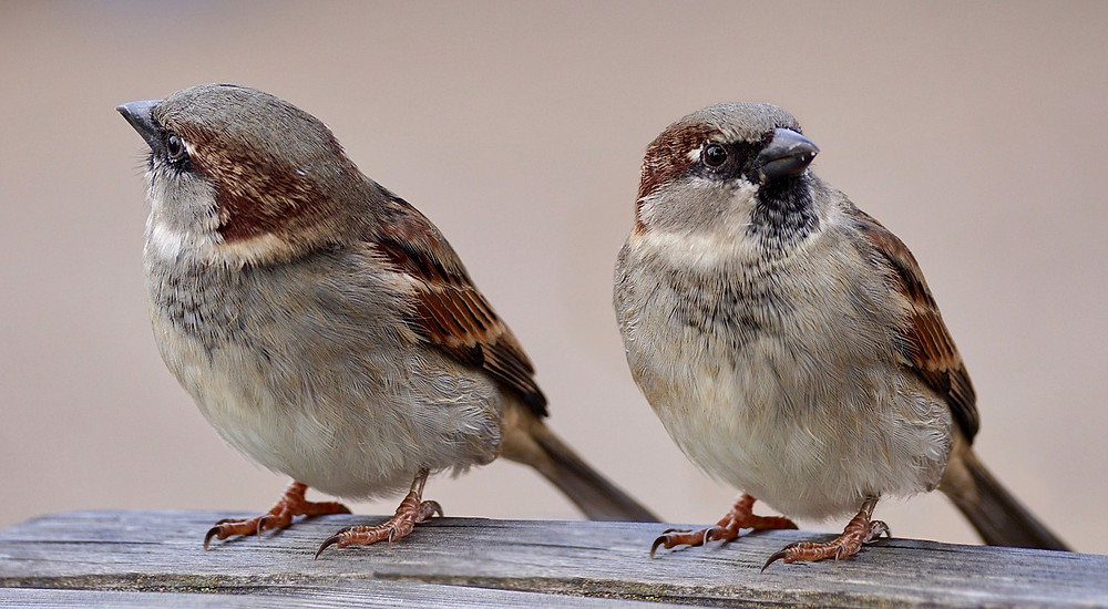 pair of male european house sparrows