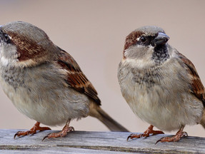 Sparrowfarts
