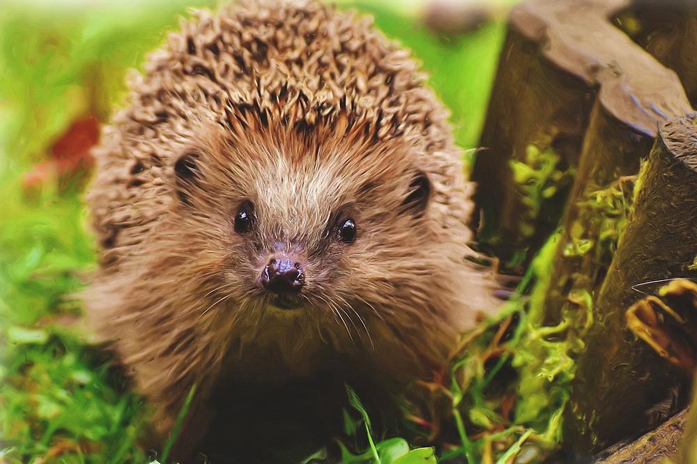 european hedgehog looking at the camera