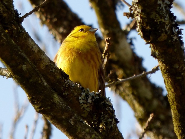 a yellowhammer bunting bird in a tree