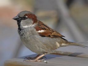 Sparrow-pie