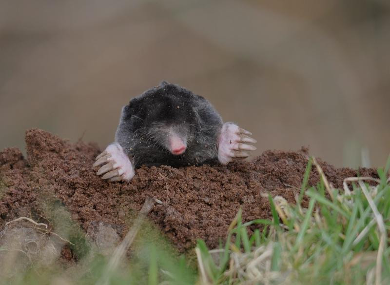 mole emerging from its hole