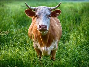Bloxwich bull
