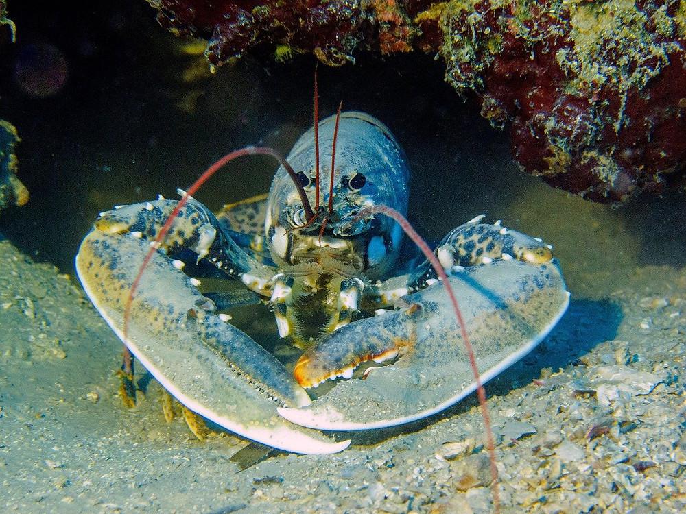 A lobster, origin of phrase lobster shift