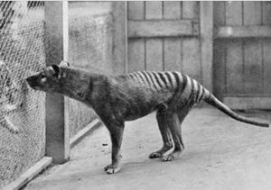 last surviving thylacine, benjamin in Hobart Zoo 1933