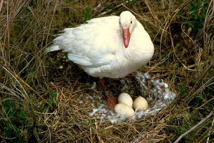 a white goose on its nest