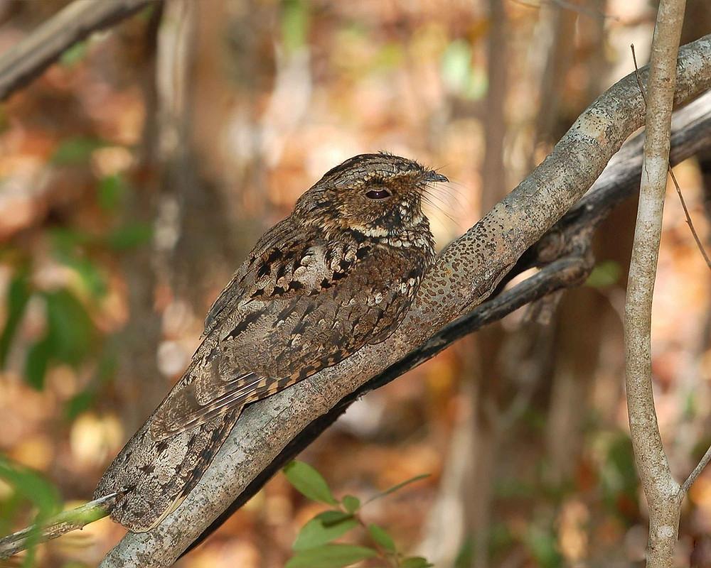 a eurasian nigihtjar camouflaged on  a branch